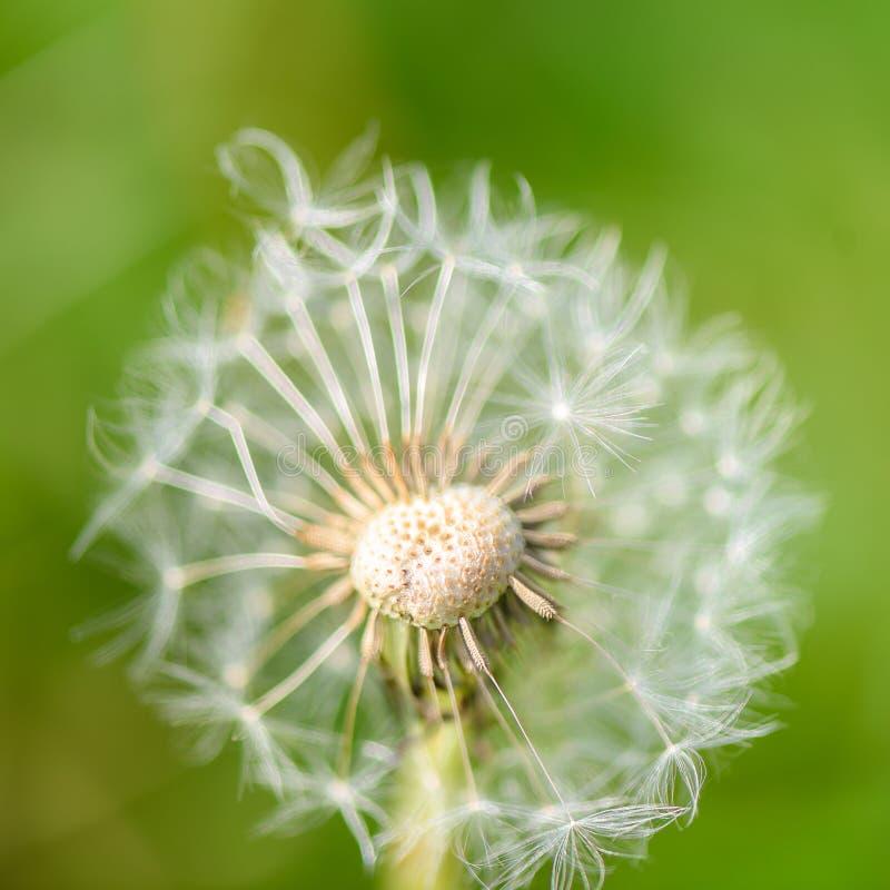 蒲公英有一个暂短心形的中心的种子头 图库摄影