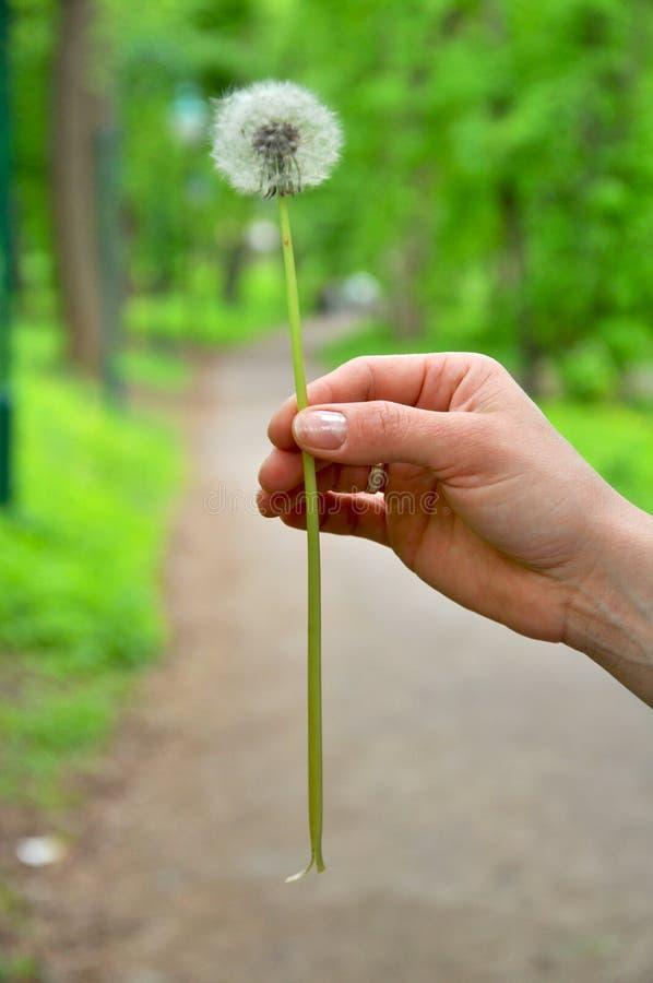 蒲公英植物在手中 库存图片