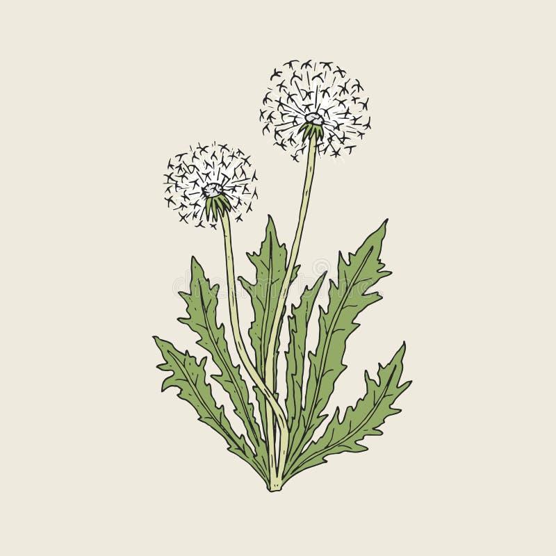 蒲公英植物美丽的图画有生长在绿色词根和叶子的成熟种子头或絮球的 某处花草甸反弹森林 向量例证