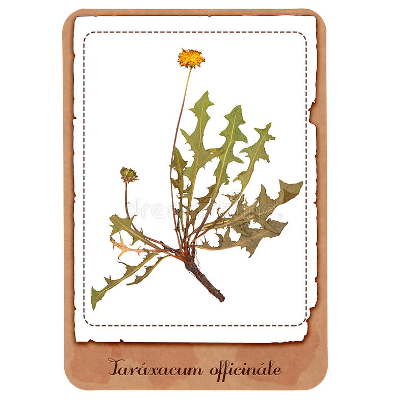 蒲公英植物 库存图片