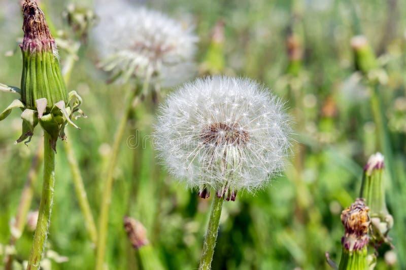 蒲公英牛奶巫婆gowan关闭退色的开花在草甸 免版税库存图片