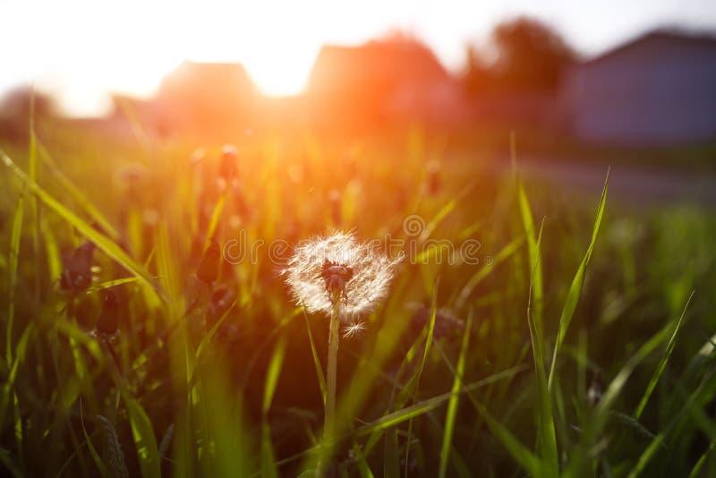 蒲公英特写镜头在日落的草庭院里 库存照片