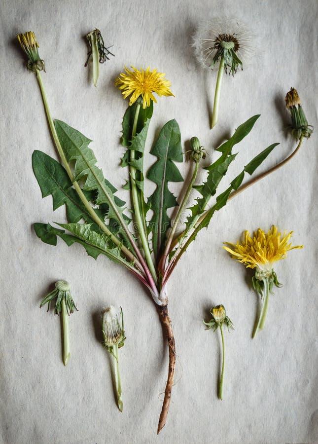 蒲公英的干燥标本集 植物的例证 库存照片