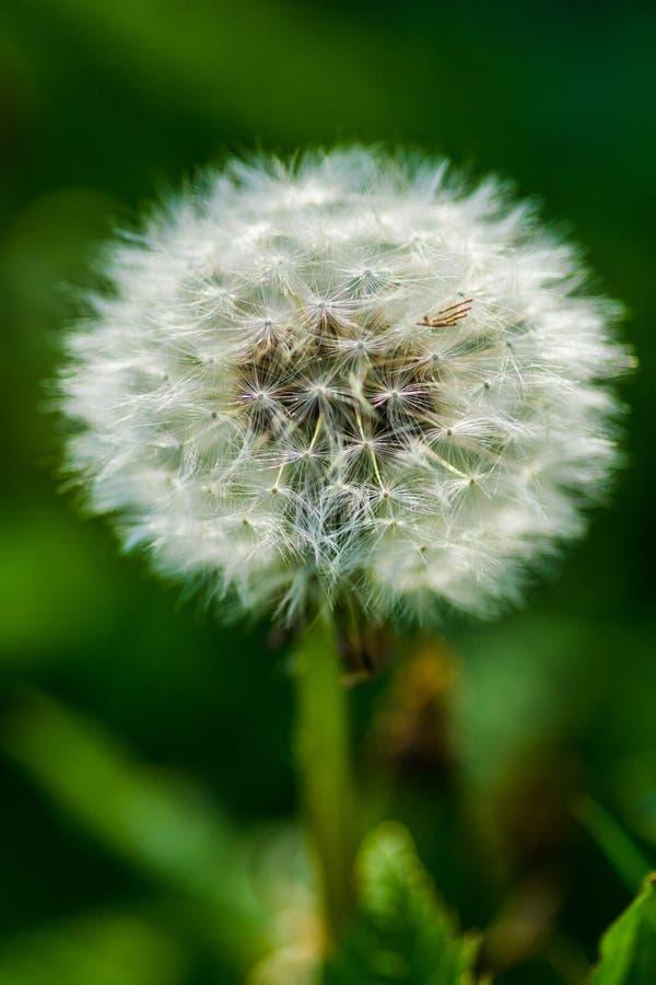 蒲公英种子头和茎秆特写 免版税图库摄影