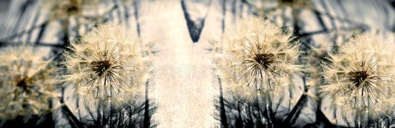 蒲公英种子特写镜头,在蒲公英种子的选择聚焦 图库摄影