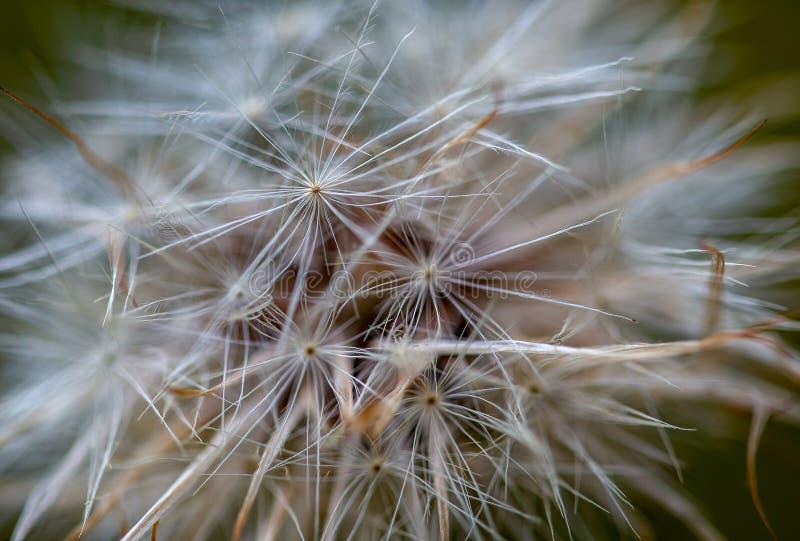 蒲公英种子的宏观摄影 库存图片