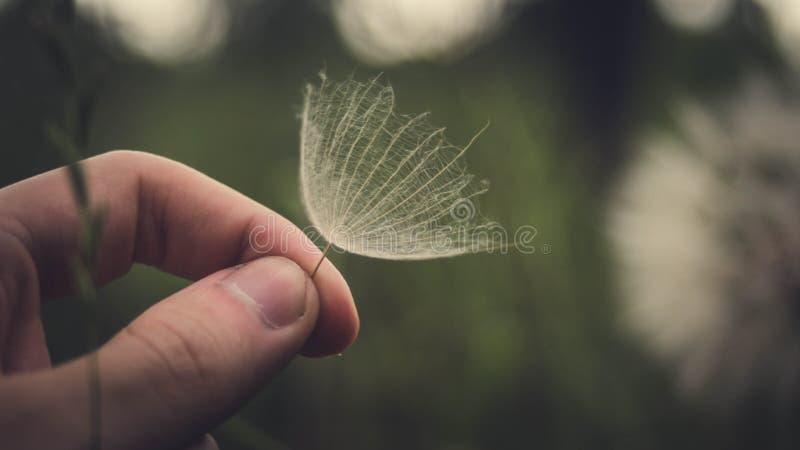 蒲公英种子 免版税图库摄影