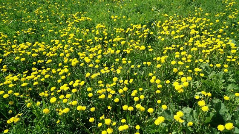 蒲公英绿色黄色背景  免版税库存图片