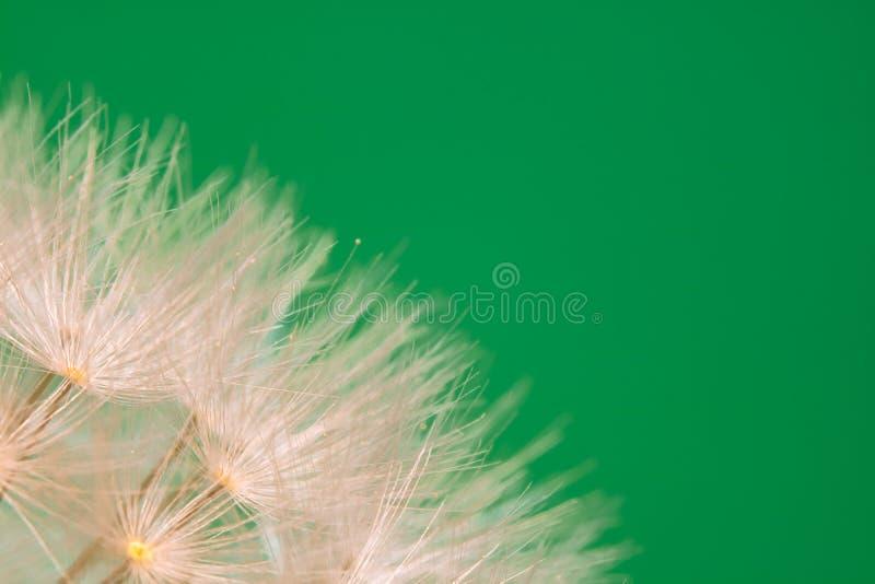 蒲公英美丽的宏观软的雌蕊突出了与拷贝空间的纹理样式 库存图片