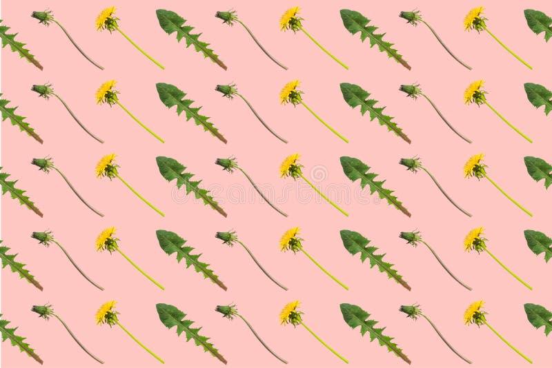 蒲公英花、芽和叶子对角行在桃红色背景 皇族释放例证