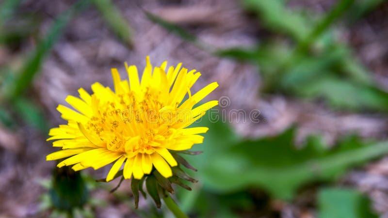 蒲公英花和有些叶子 免版税库存照片