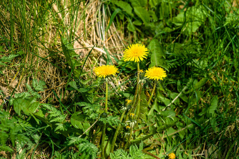 蒲公英花在庭院里 免版税库存照片