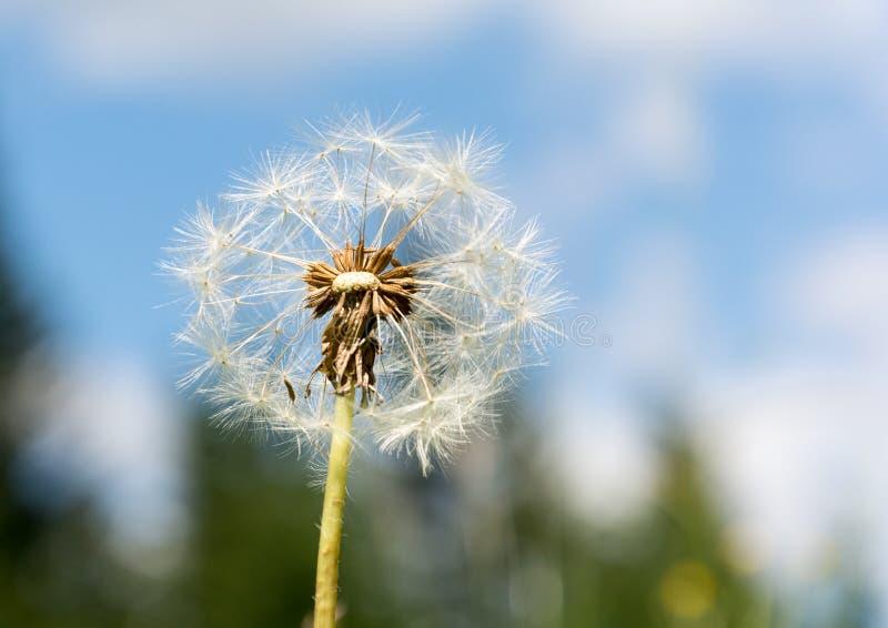 蒲公英花开始疏松种子 免版税图库摄影