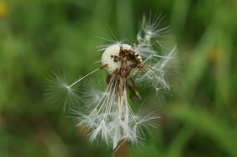 蒲公英花,在它死与种子后 库存照片