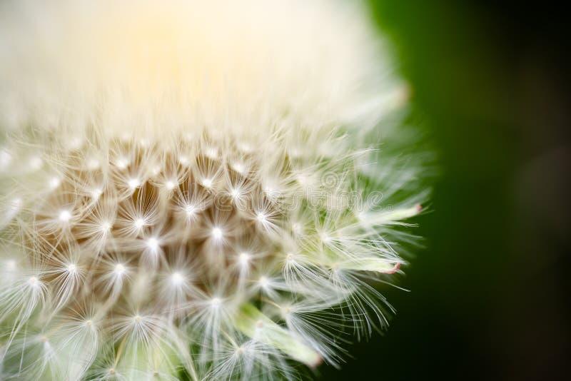 蒲公英,蒲公英,有被连接的种子超级极端宏指令的头状花序 图库摄影