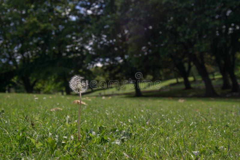 蒲公英/蒲公英在象草的小山的头状花序在夏天,与树在背景中 免版税图库摄影