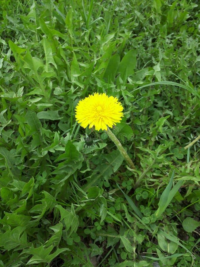 Download 蒲公英 库存照片. 图片 包括有 黄色, 春天, 蒲公英 - 72368552