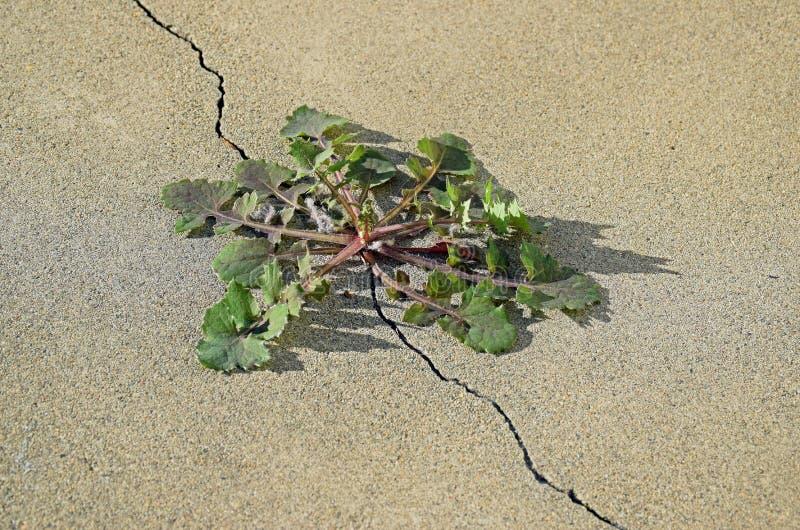蒲公英& x28; Taraxacum& x29;种植生长在一块混凝土板的一个裂缝外面 免版税库存照片
