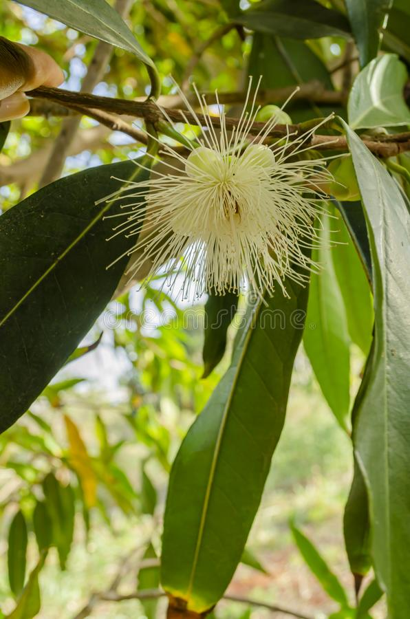 蒲桃树的开花 免版税库存照片