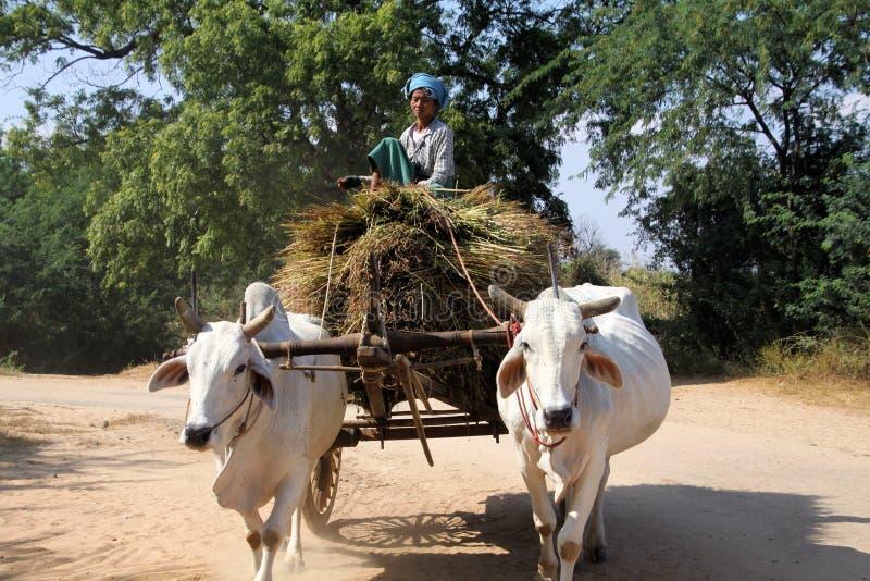 蒲甘,缅甸- 12月21 2015年:缅甸妇女坐引导黄牛推车的干草捆通过农村 免版税库存照片