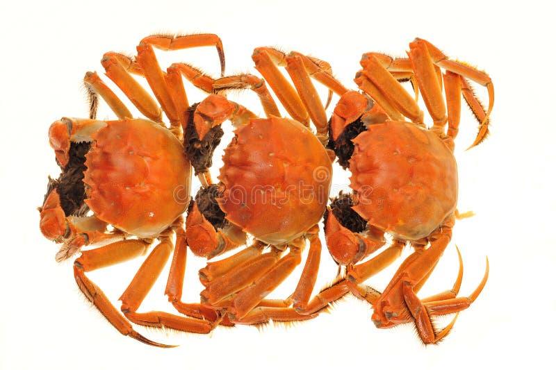 长毛煮熟的螃蟹的蒸汽推新菜品报道图片