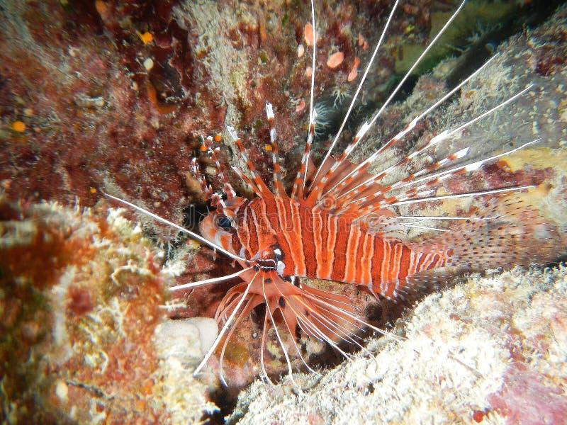 蓑鱼轻潜水员珊瑚礁水下的海洋海泰国 免版税库存图片