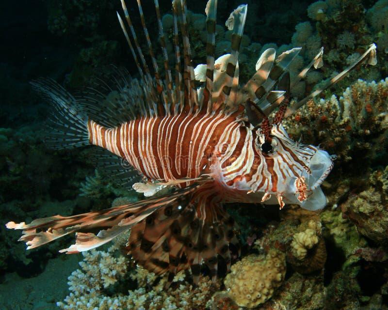 Download 蓑鱼 库存图片. 图片 包括有 光芒, 虚拟, 水生, 红色, 埃及, 背包, 本质, 野生生物, 环境 - 15697715