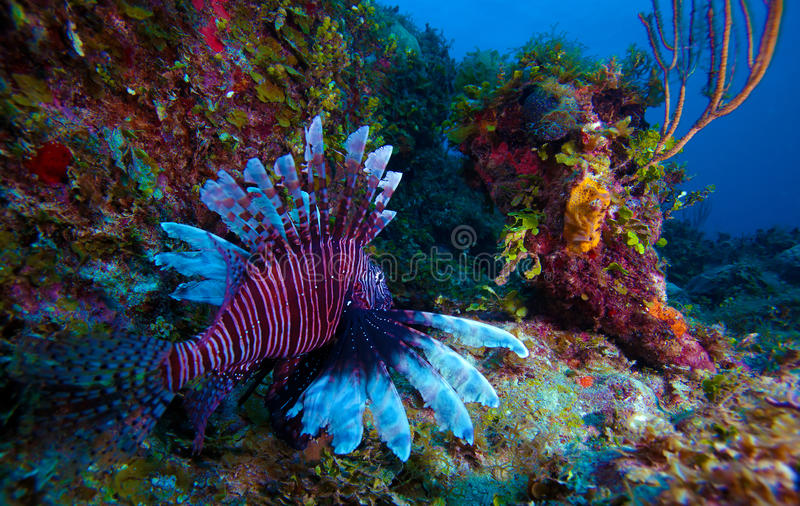 蓑鱼(Pterois)在珊瑚,缓慢地Cayo附近,古巴 免版税库存照片