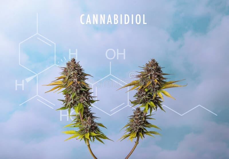 蓝上CBD或大麻二酚化学配方的大麻植物 库存照片