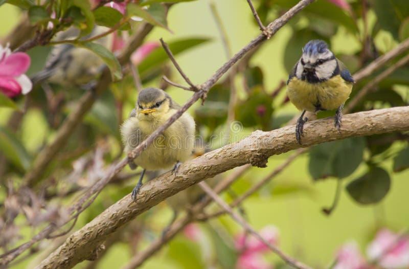 蓝冠山雀雏鸟和父母布什的 免版税库存照片