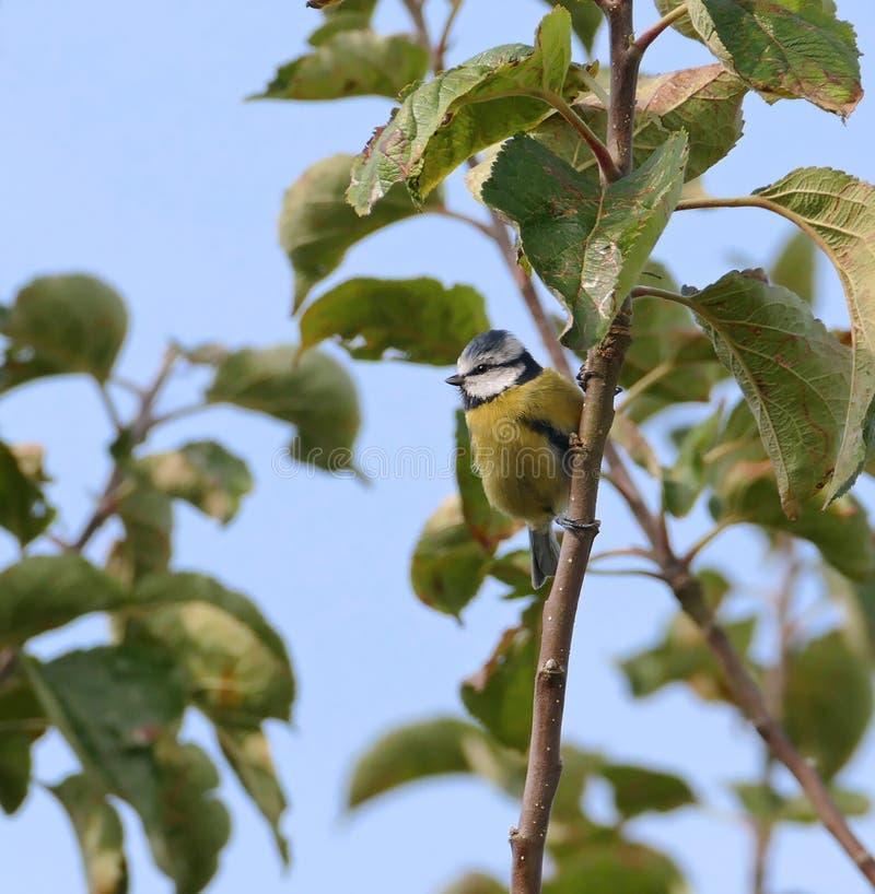 蓝冠山雀鸟 图库摄影