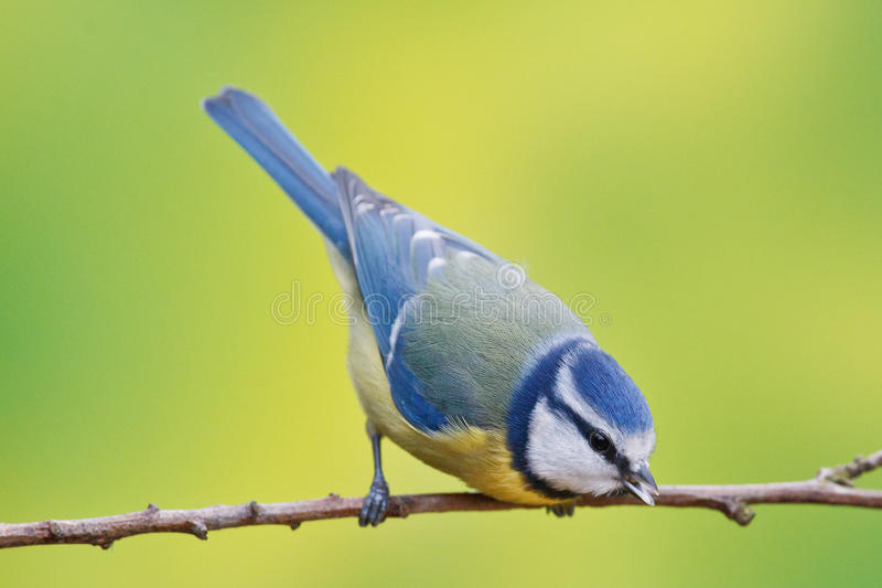 蓝冠山雀,帕鲁斯caeruleus 免版税库存照片
