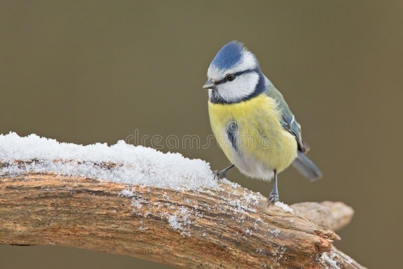蓝冠山雀(Cyanistes caeruleus) 图库摄影