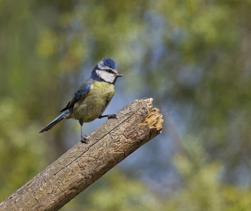 蓝冠山雀(cyanistes caeruleus) 免版税库存图片