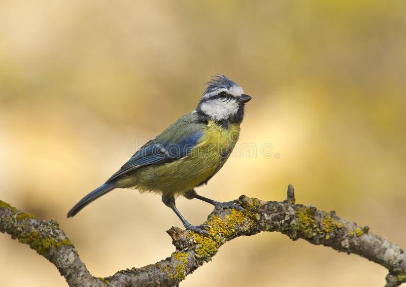 蓝冠山雀(cyanistes caeruleus) 免版税库存照片
