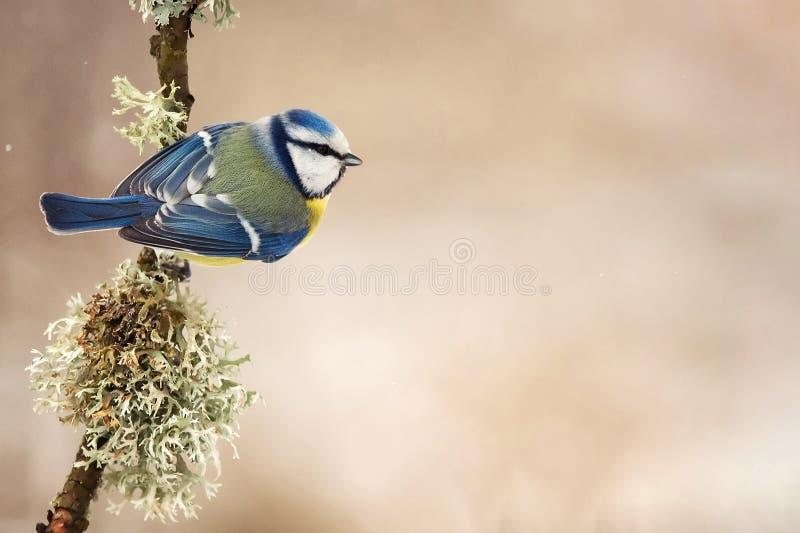 蓝冠山雀Cyanistes caeruleus坐有青苔的一根美丽的棍子 库存图片