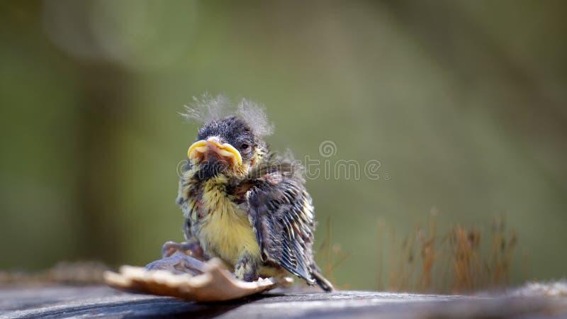 蓝冠山雀Cyanistes caeruleus雏鸟 免版税库存图片