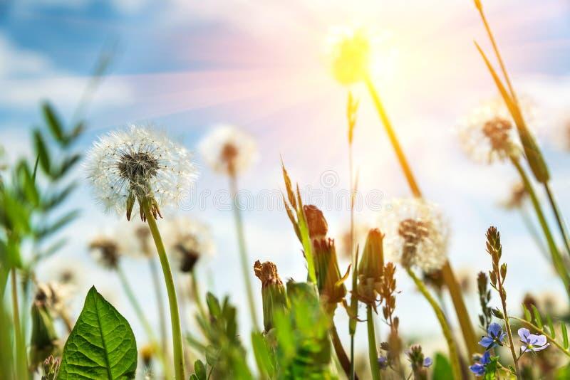 蓝天和日光束上带有白色蒲公英的场 弹簧背景 软焦点 免版税图库摄影