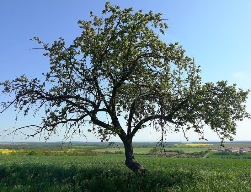 蓝天孤零零结构树 免版税库存图片