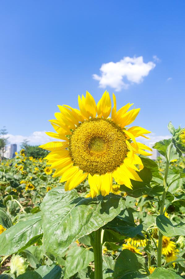 蓝天田野中鲜花的向日葵 库存照片