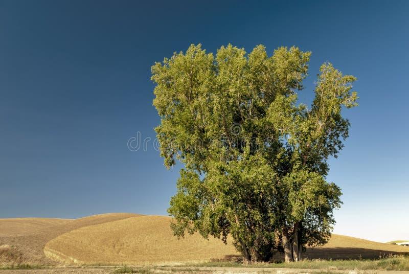 蓝天的唯一结构树在麦田 库存图片