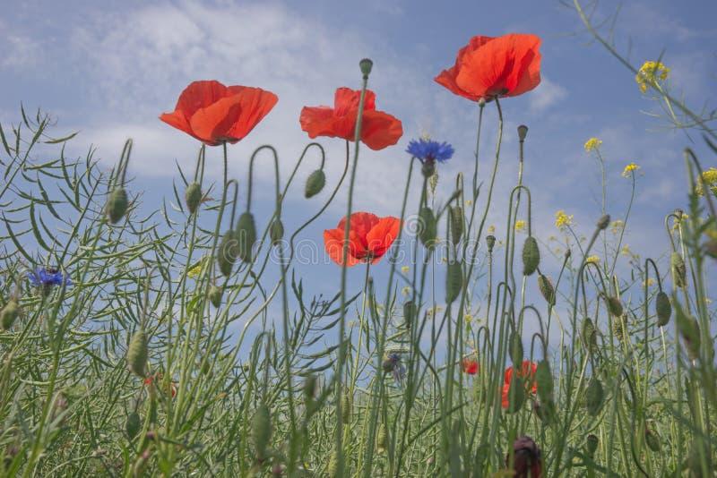 Download 蓝天的鸦片花 库存照片. 图片 包括有 鸦片, 增长, 自然, 农村, 春天, 天空, 通配, 野花, 玻色子 - 72370394