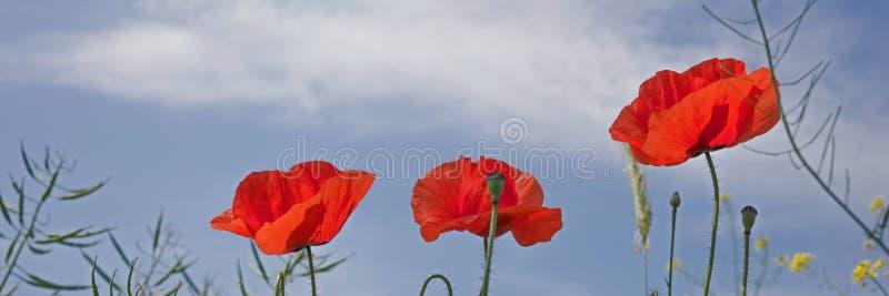 Download 蓝天的鸦片花 库存照片. 图片 包括有 天空, 季节, beautifuler, 植物群, 自然, 鸦片 - 72370396