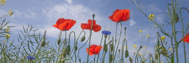 Download 蓝天的鸦片花 库存照片. 图片 包括有 植物群, 五颜六色, 自然, 本质, 开花的, 花卉, 乡下, beautifuler - 72370432