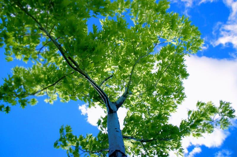 蓝天结构树 库存图片