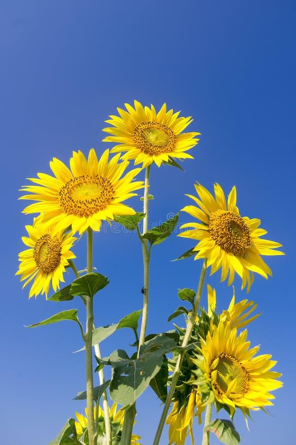 蓝天背景中的向日葵 免版税库存照片