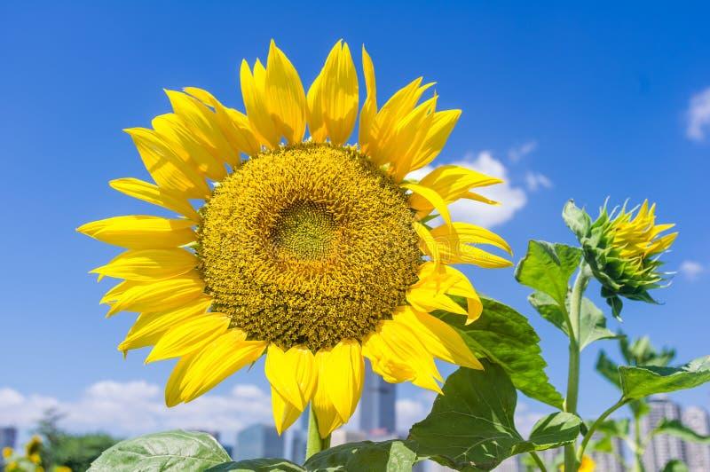 蓝天背景中的向日葵 库存照片