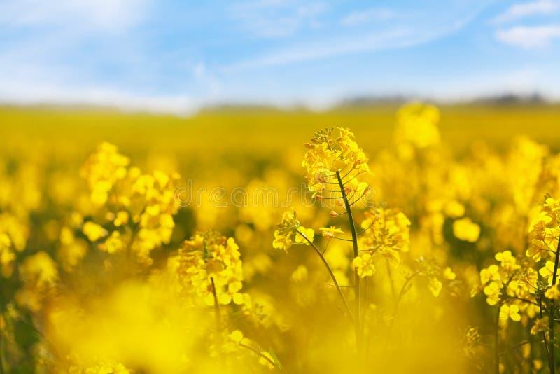 蓝天背景中的黄色油菜田 开花的芥花 免版税库存图片