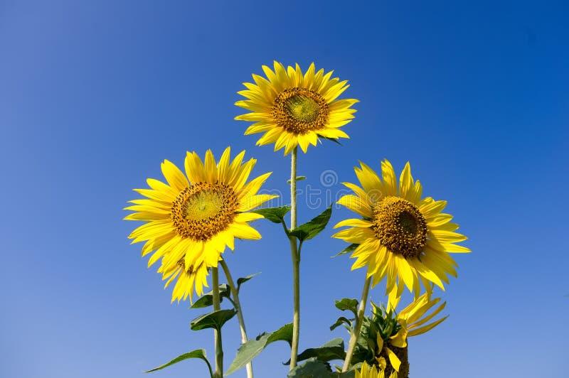 蓝天背景中突显的向日葵 库存照片