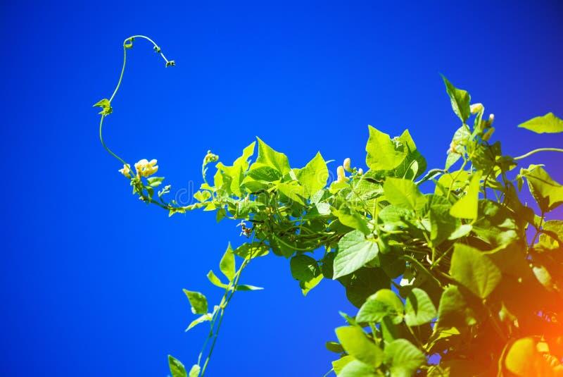 蓝天背景杆子上的青丝豆 图库摄影